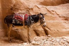 Tired sad donkey Royalty Free Stock Photo