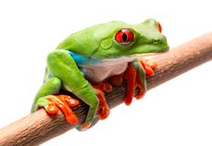 Tired, sad or sick red eyed tree frog. On a twig isolated on white. Nature conservation species extinction stock photo
