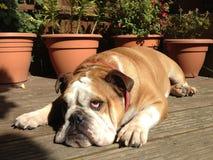 Tired sad sleepy bulldog lying on belly in sunshine. Tired sad sleepy bulldog on belly in sunshine Stock Photo
