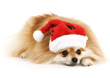 Tired Santa Pup Stock Photos