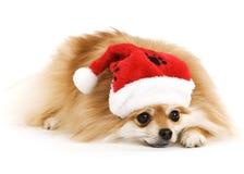Tired Santa Pup Stock Photos