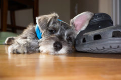 Tired Schnauzer Puppy Royalty Free Stock Photo