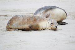 Tired sea lion cub Royalty Free Stock Images