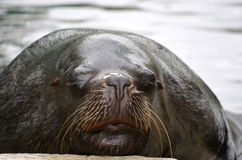 Tired seal Royalty Free Stock Images