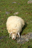 Tired sheep Stock Photos