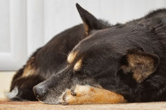 Tired shepherd dog sleeping. On the carpet indoors. The dog is tired and her eyes are closed Stock Images