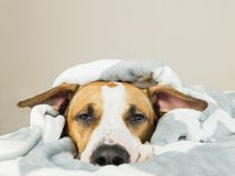 Funny young staffordshire terrier puppy lying covered in throw blanket and falling asleep Stock Images