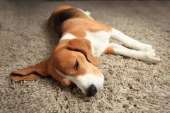 Tired sleeping beagle dog. On carpet. Lazy dog at home Royalty Free Stock Photography