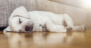 Tired sleeping dog puppy on parquet floor. Tired sleeping labrador dog puppy lies on parquet floor Royalty Free Stock Images