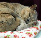 Tired sleeping pedigree british shorthair cat asleep dreaming dreams napping. Photo of a beautiful british shorthair cat fast asleep dreaming on her favourite stock images