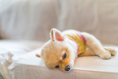 Tired and sleepy pomeranian dog wearing t-shirt, sleeping on sofa, with copy space, concept of hanging over or Monday work.  Stock Photos