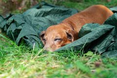 Tired small dog, a dachshund, is sleeping sweetly on a camp. Among green grass at sunny evening - recreation after active day outdoor Stock Photo