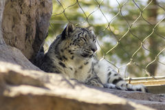 Tired Snow Leopard. A tired snow leopard in captivity royalty free stock photography