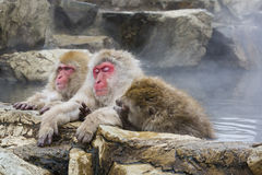 Tired Snow Monkey and Friends in Hot Springs Stock Image