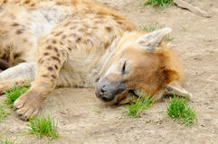 Tired spotted hyena Stock Photo