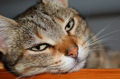 Tired tabby cat Royalty Free Stock Images