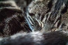 Tired tabby cat sleeping on a sofa Stock Photo