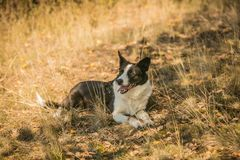 Tired thirsty short haired border collie dog royalty free stock images