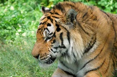 Tired tiger 7 Stock Photo