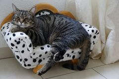 Tired tiger cat on a dalmatian couch. Tired cute tiger cat on a dalmatian canape royalty free stock photo