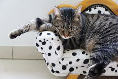 Tired tiger cat on a dalmatian couch. Tired cute tiger cat on a dalmatian canape stock photography