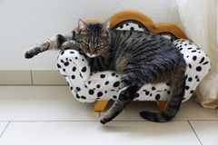 Tired tiger cat on a dalmatian couch. Tired cute tiger cat on a dalmatian canape stock photo