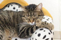 Tired tiger cat on a dalmatian couch Stock Photography