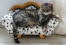 Tired tiger cat on a dalmatian couch Stock Photo