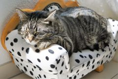 Tired tiger cat on a dalmatian couch Royalty Free Stock Photos