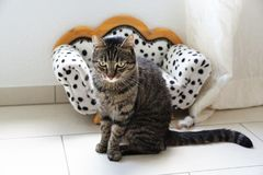 Tired tiger cat on a dalmatian couch Royalty Free Stock Photography