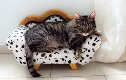 Tired tiger cat on a dalmatian couch Stock Images
