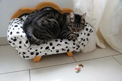 Tired tiger cat on a dalmatian couch Stock Image
