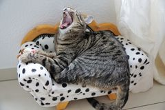 Tired tiger cat on a dalmatian couch Royalty Free Stock Photo