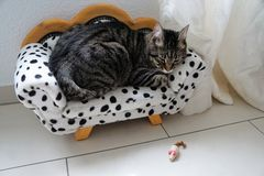 Tired tiger cat on a dalmatian couch Royalty Free Stock Images