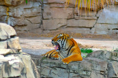 Tired Tiger Royalty Free Stock Photo