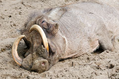 Tired warthog Stock Image