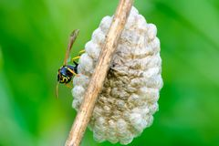 Tired Wasp on nest at dusk- closeup. Wasp Vespula vulgaris sitting on the nest . On dry grass stalk.Taken with telephoto lens 300mm f4 stock image