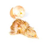 Tired wet chick. Tired little newly hatched chick isolated on white Stock Photos
