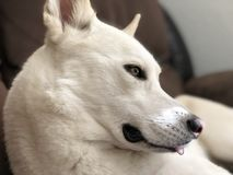 Tired dog with tongue sticking out!. A tired white dog gazing in the distance with tongue sticking out Royalty Free Stock Image