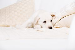 Tired white puppy lying on the sofa Stock Photography