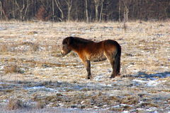 Tired wild horse taking a break. In February royalty free stock photography