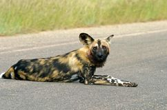 Tired Wilddog Stock Photos
