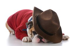 Tired working dog. Wearing western clothing on white background Stock Photos