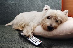 Tired wstie dog with a remote controller royalty free stock photo