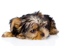Tired Yorkshire Terrier puppy.  on white background Royalty Free Stock Photo