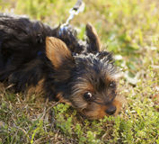 Tired Yorkshire terrier puppy Stock Images