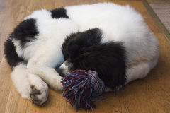 A Tired Young Female Landseer ECT pup. A young female Landseer European Continental Type (ECT) is sleeping on the floor together which her favourite toy Royalty Free Stock Photo