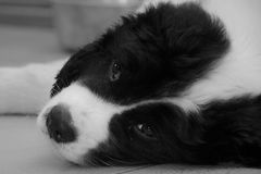 A Tired Young Male Landseer ECT pup - Black and White. An eight weeks old male Landseer European Continental Type (ECT) is falling asleep on the floor after Stock Photography