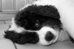A Tired Young Male Landseer ECT pup - Black and White. An eight weeks old male Landseer European Continental Type (ECT) is falling asleep on the floor after Royalty Free Stock Photo