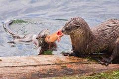 Tirer avec effort-O-Guerre de truite Photos libres de droits